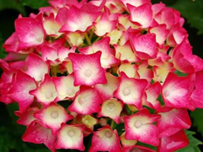 Hortensias guia de jardineria jardines y plantas - Cuidado de las hortensias ...