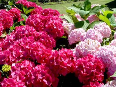 Cuidado De Las Hortensias En Maceta Affordable Im Genes Hortensia