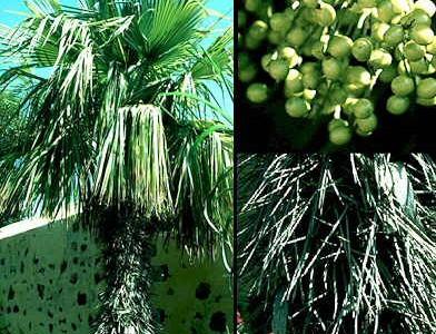 Jardineria y plantas las palmeras for Jardineria y plantas
