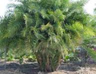 imagen Las palmeras