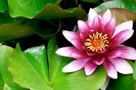 Las plantas acu ticas for Plantas para estanques de agua fria