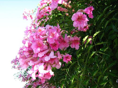 Bignonia rosada enredaderas jardineria - Plantas enredaderas de crecimiento rapido ...