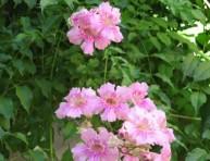 imagen Enredadera: Bignonia rosada