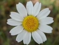 imagen Qué es una planta herbácea perenne