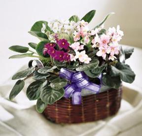 jardineria y plantas violetas limpieza y transplante