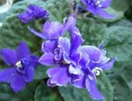 imagen Los hongos en las violetas