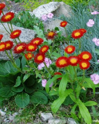 Jardineria y plantas cubresuelos erigeron for Jardineria y plantas