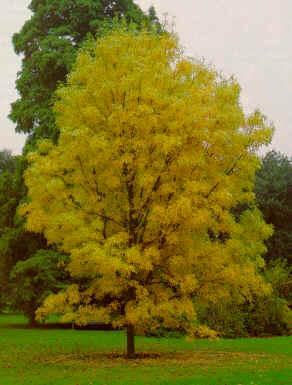 El fresno americano arboles for Arboles crecimiento rapido hoja perenne