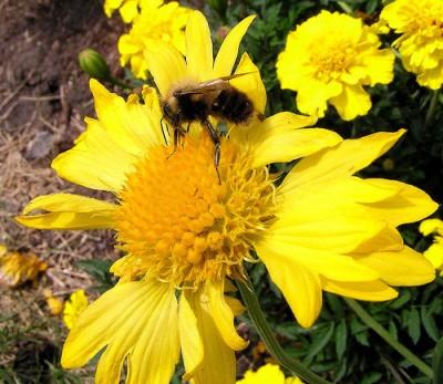 Jardineria y plantas especies de las gallardia for Jardineria y plantas