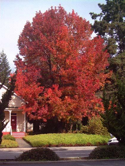 El liquidambar arboles for Color fresno