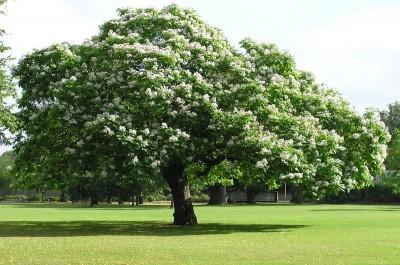 Catalpa arboles for Fresno caracteristicas
