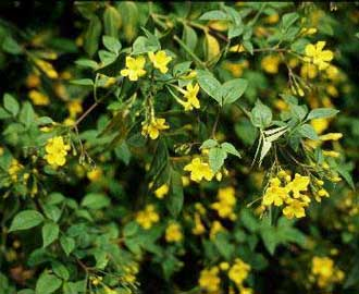 jazmin-amarillo-01