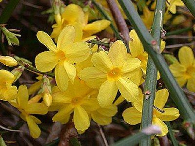 jazmin-amarillo-02