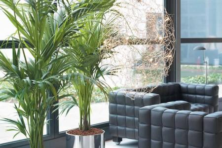 La kentia plantas de interior - Plantas grandes de interior ...