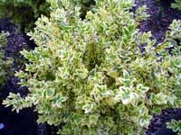 ligustrina-variegada-1