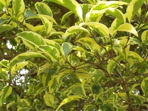 ligustrina-variegada-2