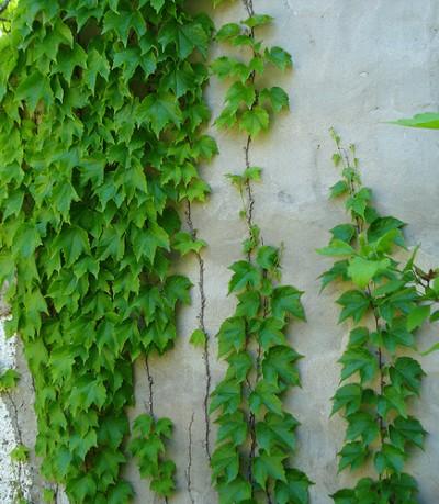 La ampelopsis enredaderas - Plantas trepadoras para muros ...