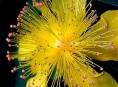 imagen El arbusto Hipérico