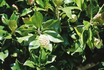 magnolia-grandiflora-01