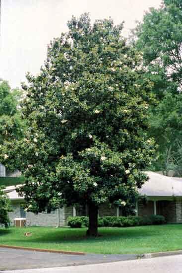 magnolia-grandiflora-03
