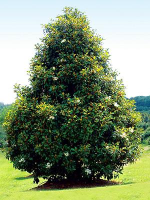 magnolia-grandiflora-04