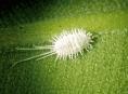 imagen Plagas: cochinilla y su control