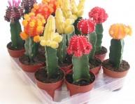imagen Cactus coloridos