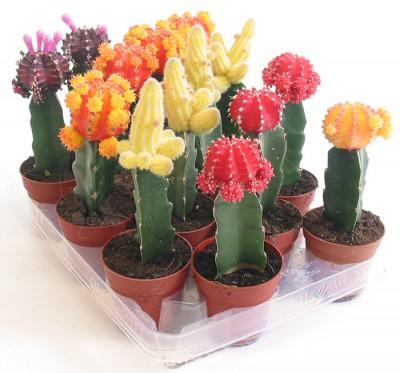 cactus-coloridos-01