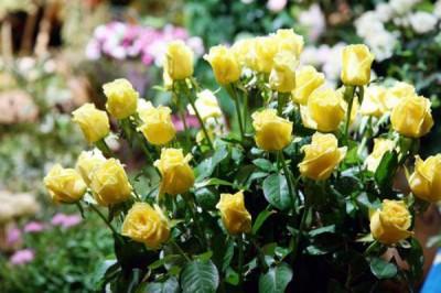 como-cuidar-las-rosas-más-bellas-01