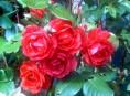 imagen Como cuidar las rosas más bellas (Parte I)