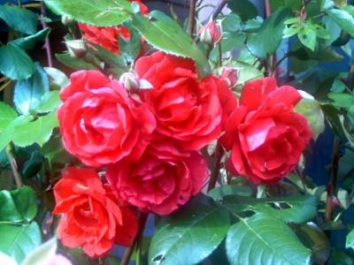 como-cuidar-las-rosas-más-bellas-03
