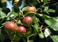 imagen Cuida los árboles frutales