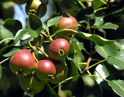 Cuida los rboles frutales arboles - Como se podan los arboles frutales ...