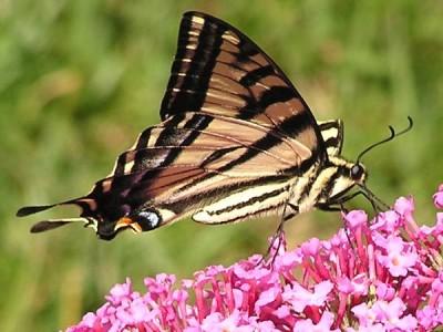 como-atraer-mariposas-al-jardin-01