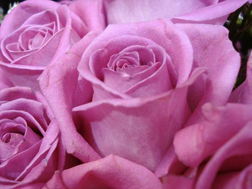 como-cuidar-las-rosas-mas-bellas-01-p2