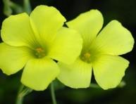 imagen El vinagrillo, una hierba con bondades