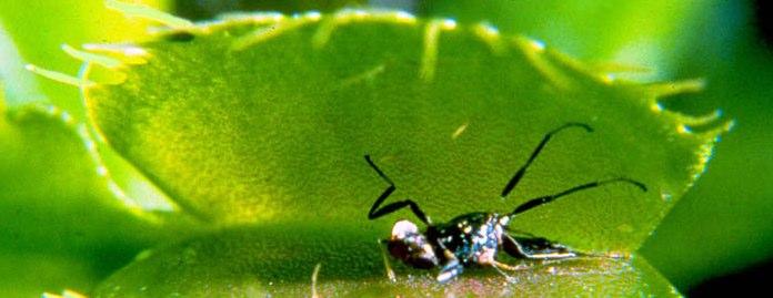 las-plantas-carnívoras-y-el-dengue