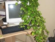 imagen Los Singonios, la planta que decora tus interiores