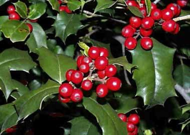 la-navidad-y-sus-plantas-tipicas-01