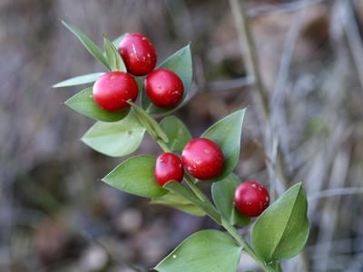 la-navidad-y-sus-plantas-tipicas-03