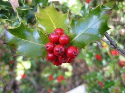 la-navidad-y-sus-plantas-tipicas-04