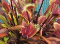imagen Plantas Carnívoras: Dionea