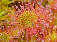 imagen Plantas Carnívoras: Droseras