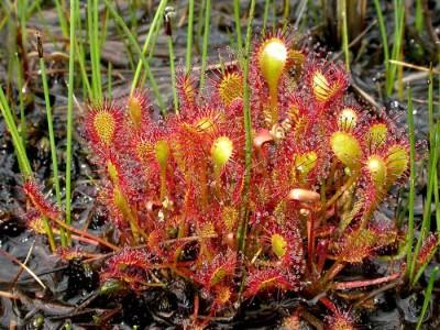 plantas-carnivoras-drosera