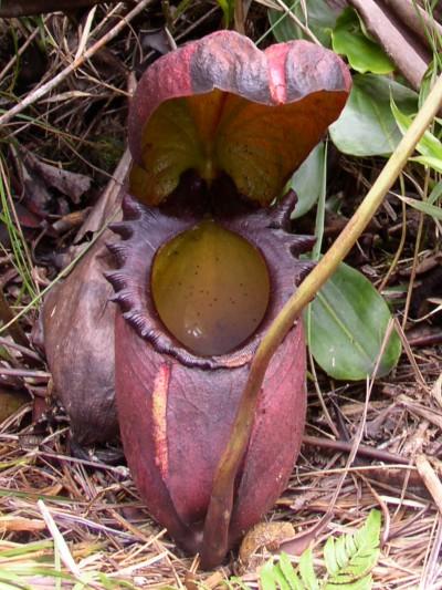 plantas-carnivoras-nephentes-01
