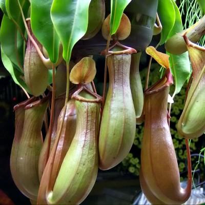 plantas-carnivoras-nephentes