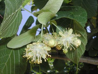 plantas-que-combaten-la-gripe-p-01
