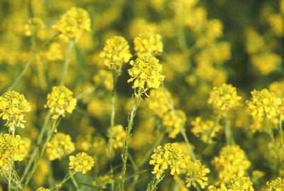 plantas-que-combaten-la-gripe-p4-01