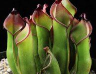 imagen Plantas Carnívoras: Heliamphora