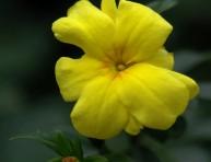 imagen Más sobre el Jazmín Amarillo